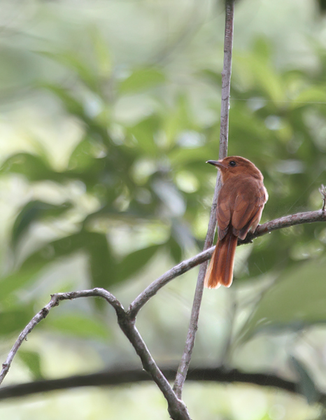 A Rufous Mourner near Burbayar Lodge, Panama (July 2010). Photo by Bill Hubick.