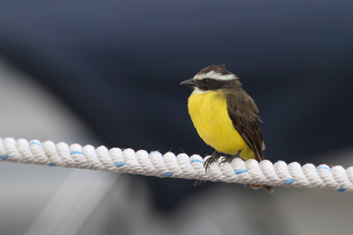 A Rusty-margined Flycatcher hunting along the Rio Chagres, Panama (July 2010). Photo by Bill Hubick.