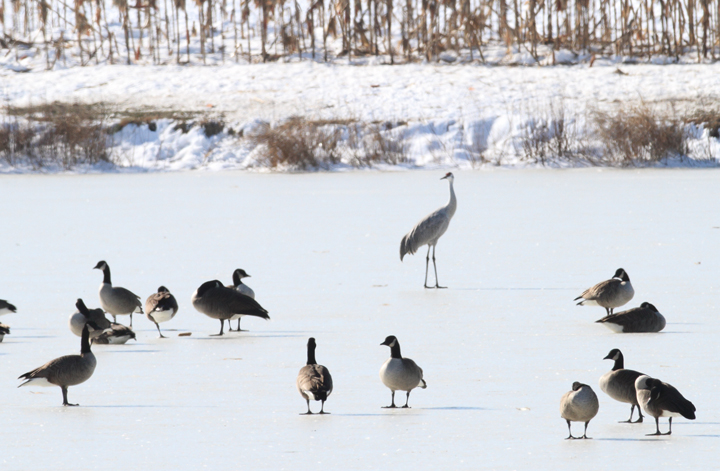 The top bird of the day was a Sandhill Crane found by Ross Geredien at Great Oak Pond, Kent Co., Maryland (12/24/2009).