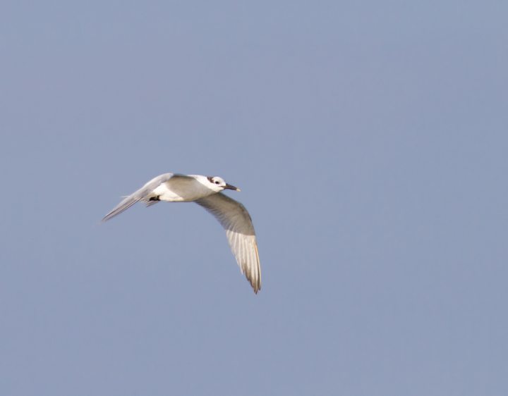 One of seven Sandwich Terns at Skimmer Island on 6/26/2011. This is a high count for this date. Photo by Bill Hubick.