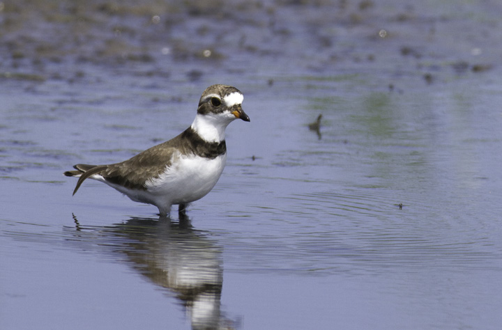 A Semipalmated Plover near Cape Point, North Carolina (5/29/2011). Photo by Bill Hubick.