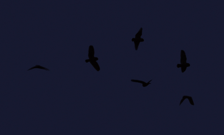 A montage of Short-eared Owl silhouettes - the left two are from the original frame. (Stemmers Run, Maryland, 2/20/2011) Photo by Bill Hubick.
