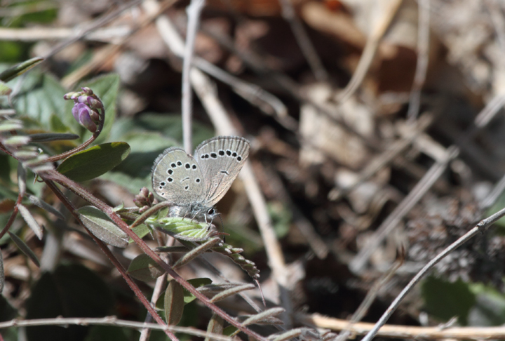 A Silvery Blue, a very localized species in Maryland, in Allegany Co., Maryland (4/23/2010). Photo by Bill Hubick.