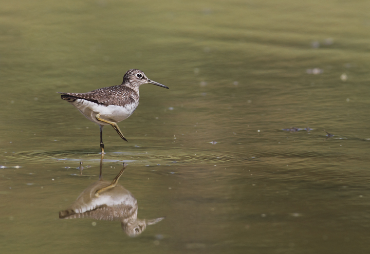 A Solitary Sandpiper stops in at a flooded field in Washington Co., Maryland (5/5/2010). Photo by Bill Hubick.