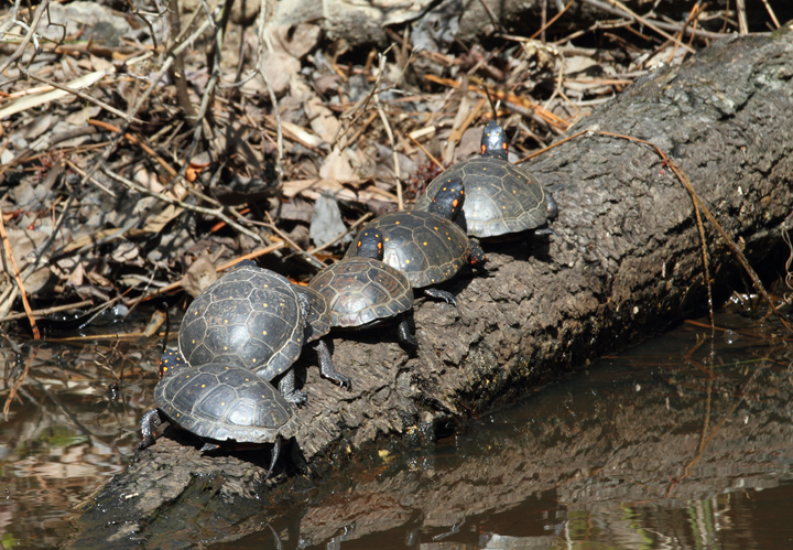 A group of six Spotted Turtles enjoy the early spring sunshine at Blackwater NWR, Maryland (3/27/2010). Photo by Bill Hubick.