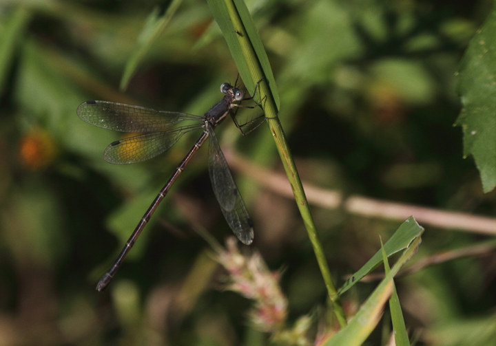 A female spreadwing photographed in Charles Co., Maryland (10/2/2010). This genus (<em>Lestes</em>) is notoriously difficult and often requires collecting male/female pairs and/or use of microscope. Photo by Bill Hubick.