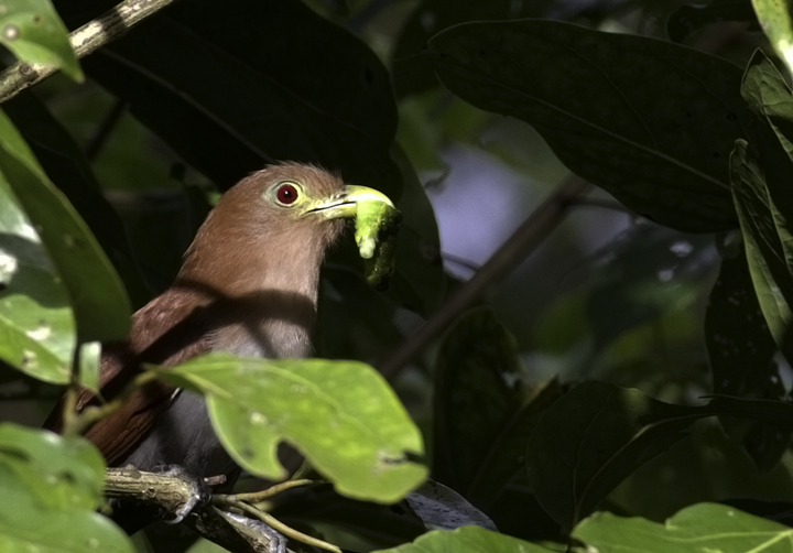 A Squirrel Cuckoo with prey near Gamboa, Panama (7/16/2010). Photo by Bill Hubick.