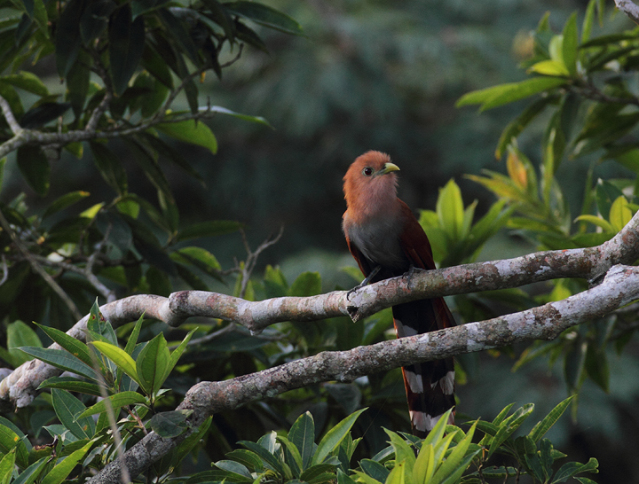 A Squirrel Cuckoo spotted just after dawn - Canopy Tower, Panama (July 2010). Photo by Bill Hubick.