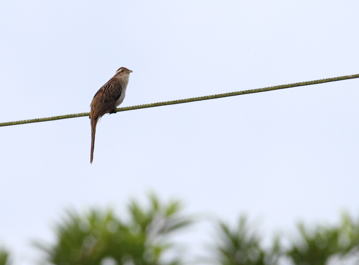 A Striped Cuckoo singing from an exposed perch near Canita, Panama (7/10/2010). Photo by Bill Hubick.