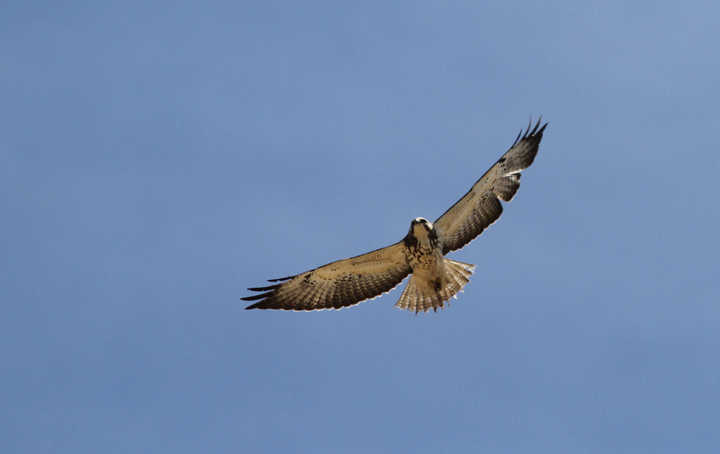 A Swainson's Hawk soars over the Everglades near Lucky Hammock, Florida (2/26/2010). Photo by Bill Hubick.
