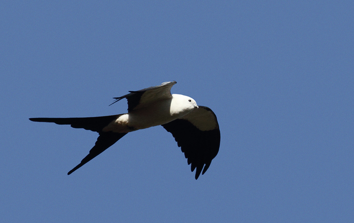 The vanguard of Swallow-tailed Kites returning to the Everglades Photo by Bill Hubick.