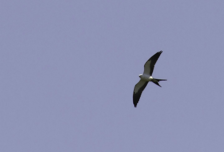 A Swallow-tailed Kite on Kent Island, Queen Anne's Co., Maryland (4/24/2011). Found by Mark Schilling, this species is a very rare visitor to Maryland. For anyone new to this species, here's a link to its range map from a Cornell page: <a href='http://www.allaboutbirds.org/guide/PHOTO/LARGE/elan_forf_AllAm_map.gif' class='text' target='_blank'>Range map</a>. Awesome find, Mark, and a new Maryland species for me. Photo by Bill Hubick.