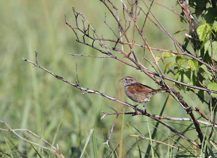 A breeding Swamp Sparrow in Garrett Co., Maryland (5/30/2010). Photo by Bill Hubick.