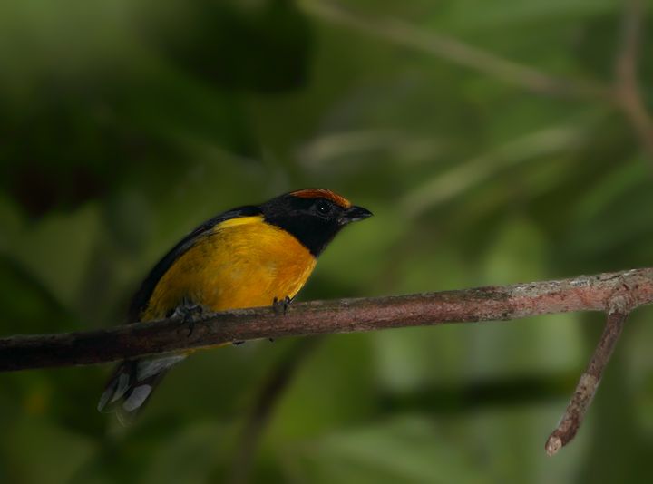 This beautiful Tawny-capped Euphonia landed just overhead in the rainforest at Nusagandi, obviously curious at our passing. Photo by Bill Hubick.