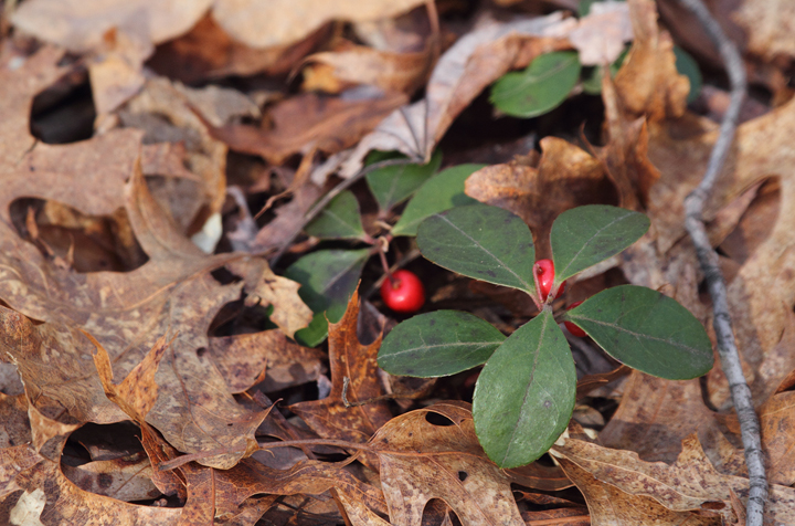Eastern Teaberry (<em>Gaultheria procumbens</em>) in Frederick Co., Maryland (4/3/2010). Photo by Bill Hubick.