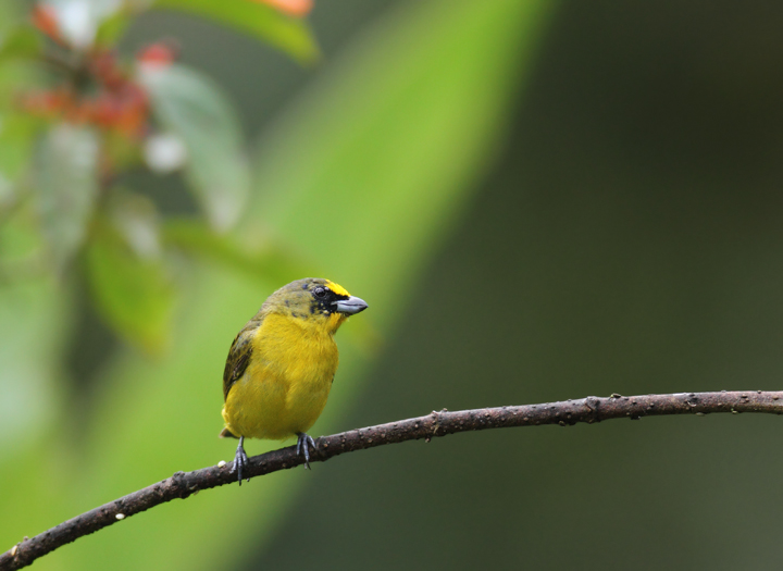 A molting Thick-billed Euphonia at the Canopy Lodge, Panama (7/13/2010). Photo by Bill Hubick.