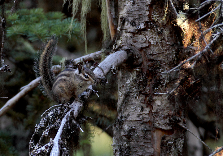 A presumed Townsend's Chipmunk on Mount Hood, Oregon (9/2/2010) Photo by Bill Hubick.