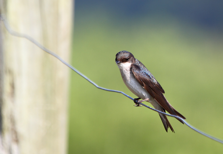 A Tree Swallow scans for breakfast on the wing at Chino Farms, Maryland (6/19/2010). Photo by Bill Hubick.