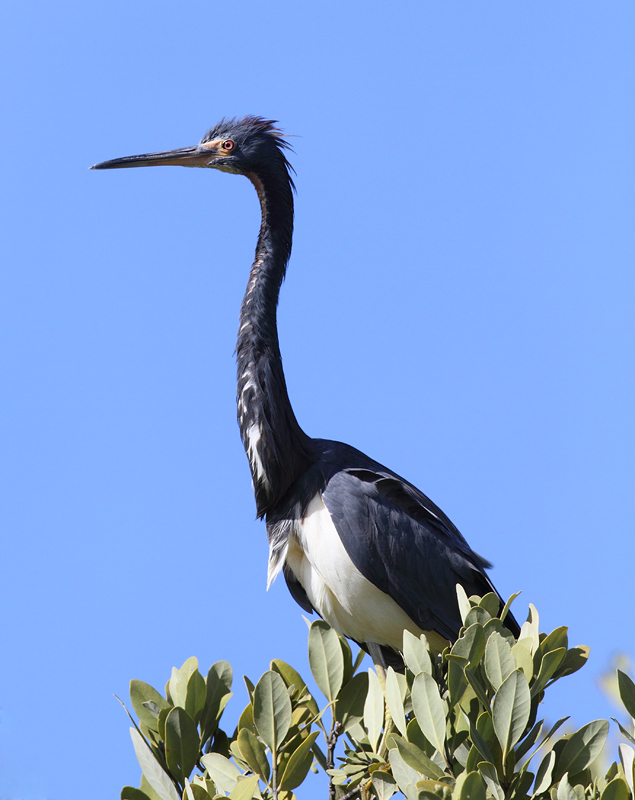 A Tricolored Heron enjoys a treetop perch in the Everglades (2/26/2010). Photo by Bill Hubick.