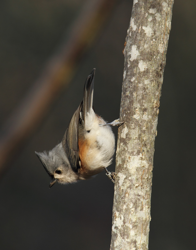 A Tufted Titmouse at Eden Mill Park, Harford Co., Maryland (11/7/2010). Banded. Photo by Bill Hubick.