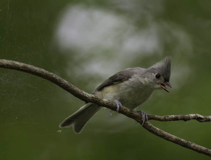 A Tufted Titmouse in Queen Anne's Co., Maryland (6/18/2011 Photo by Bill Hubick.