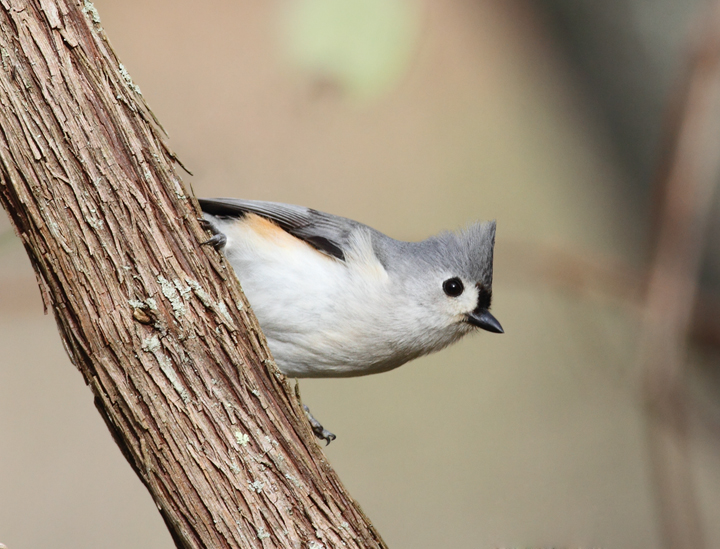 A Tufted Titmouse in Worcester Co., Maryland (3/28/2010). Photo by Bill Hubick.