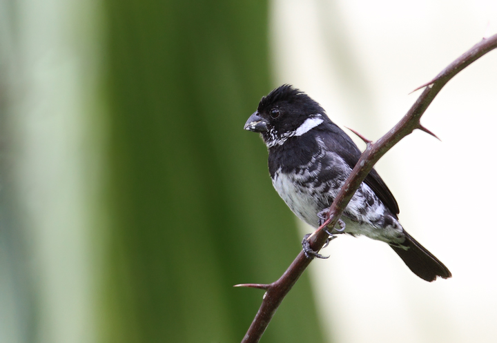 A male Variable Seedeater in Gamboa, Panama (July 2010). Photo by Bill Hubick.