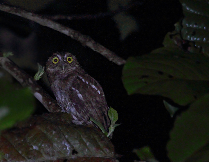 The short trills of the local subspecies of Vermiculated Screech-Owl were common in the foothills around Nusagandi, Panama (August 2010). This individual was calling spontaneously, but flew in quickly to whistled imitations. Photo by Bill Hubick.