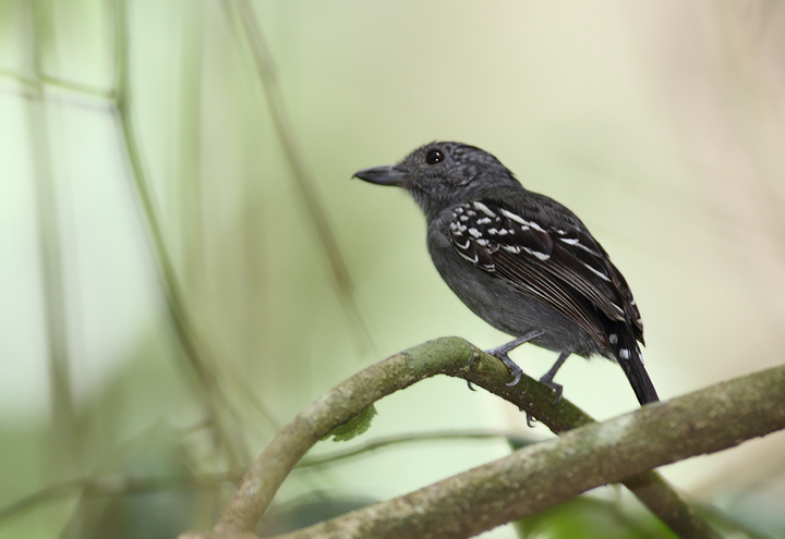 Western Slaty-Antshrikes were a common rainforest species in central Panama. Their call, reminiscent of a car trying to start and finally catching, was one of the main sounds of the forests we visited (Panama, July 2010). Photo by Bill Hubick.