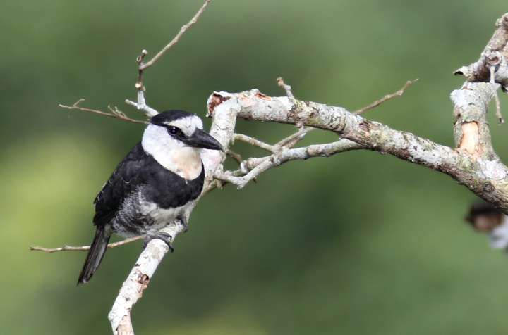 A White-necked Puffbird in the canopy in the early morning (Panama, July 2010). Photo by Bill Hubick.