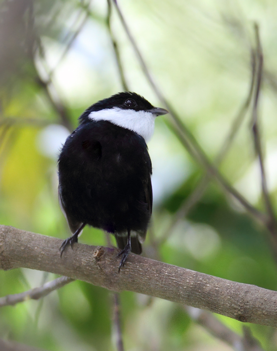 This White-ruffed Manakin favored a couple flowering trees near my hut at Burbayar Lodge, Panama (July 2010). Photo by Bill Hubick.