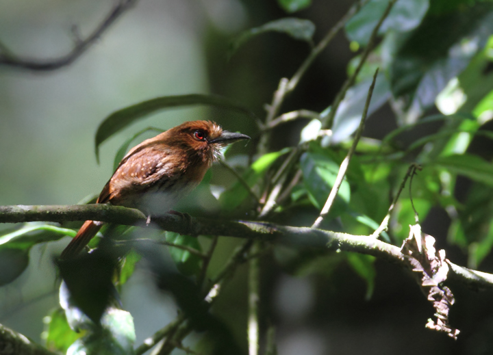 A distant White-whiskered Puffbird (Panama, July 2010). Photo by Bill Hubick.