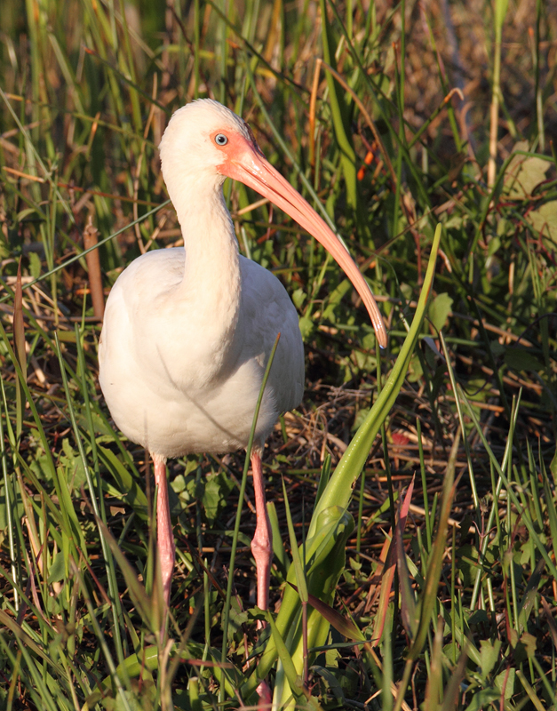 A White Ibis at the Anhinga Trail in the Everglades (2/26/2010). Photo by Bill Hubick.