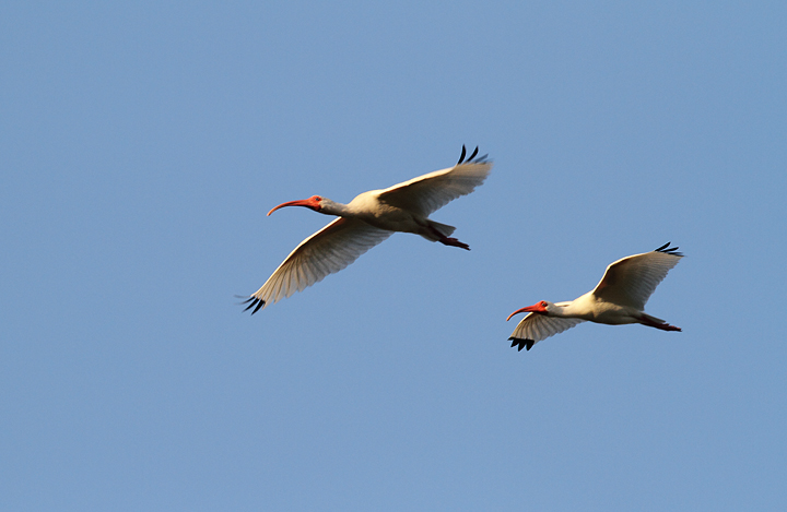 White Ibis going to roost near the Anhinga Trail (2/26/2010). Photo by Bill Hubick.