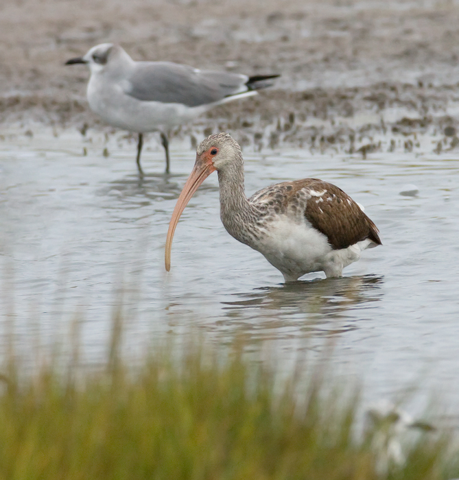 White Ibis in Maryland