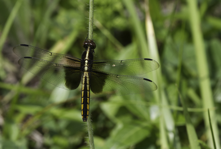 A female Widow Skimmer in Garrett Co., Maryland (6/12/2011). Photo by Bill Hubick.