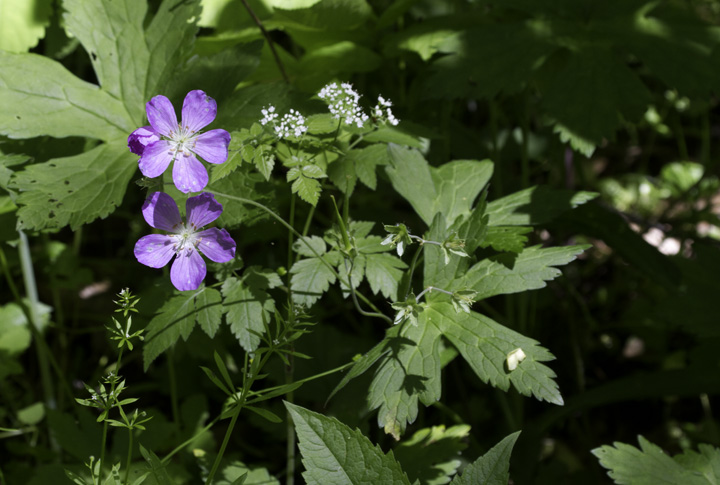 Wild Geranium in Garrett Co., Maryland (5/21/2011). Photo by Bill Hubick.