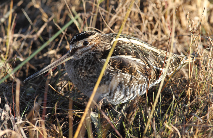 A Wilson's Snipe well-camouflaged on Assateague Island, Maryland (11/12/2010). Photo by Bill Hubick.