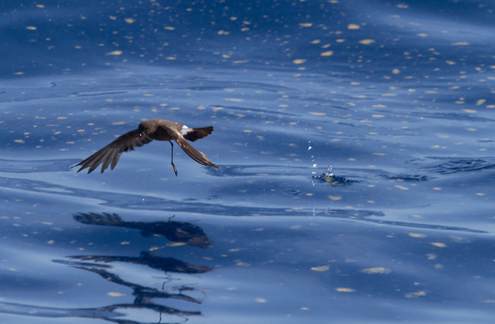 A collection of Wilson's Storm-Petrel images from off Cape Hatteras, North Carolina (5/28/2011). Photo by Bill Hubick.