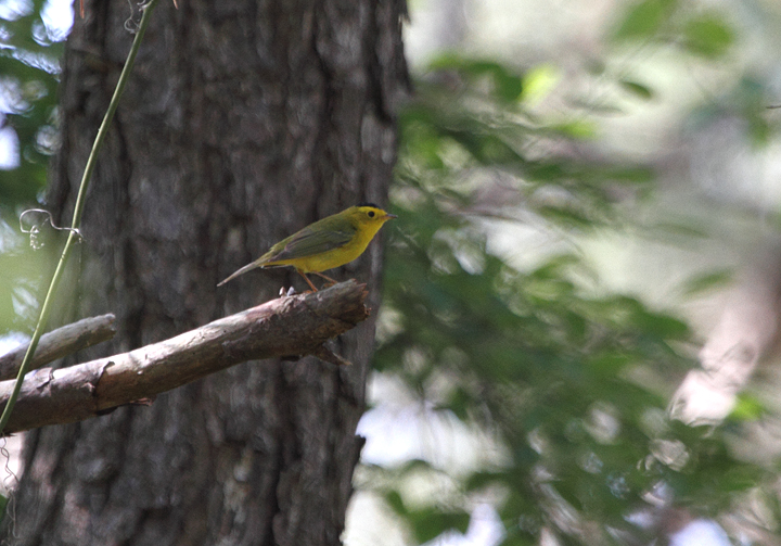 A Wilson's Warbler singing along the Life of the Forest Trail on Assateague Island (5/15/2010). Photo by Bill Hubick.