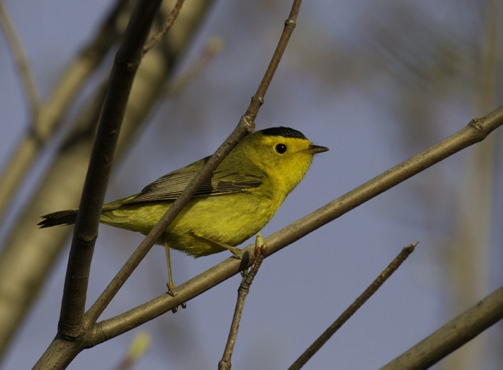 A male Wilson's Warbler in Garrett Co., Maryland (5/21/2011). Photo by Bill Hubick.