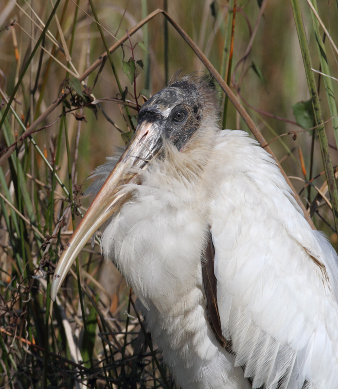 A Wood Stork relaxes along the Anhinga Trail in the Everglades (2/26/2010). Photo by Bill Hubick.