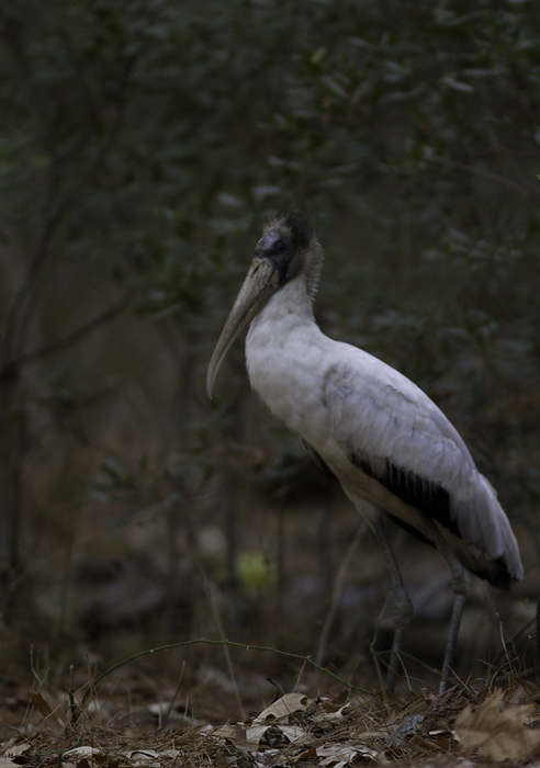 A Wood Stork at Point Lookout SP, Maryland - the state's first winter record! (Observed 2/16 to 2/19/2011) Photo by Bill Hubick.