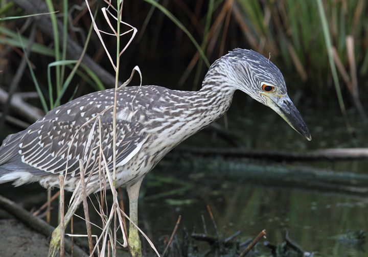 A juvenile Yellow-crowned Night-Heron at North Beach, Maryland (7/28/2010). Photo by Bill Hubick.