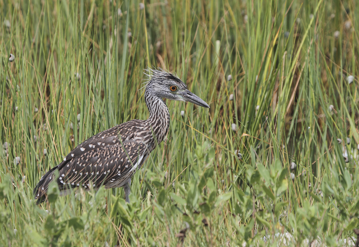 Juvenile Yellow-crowned Night-Heron at Smith Island, Somerset Co., Maryland (8/7/2010). Photo by Bill Hubick.