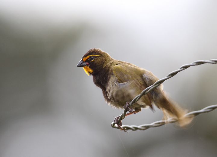 A Yellow-faced Grassquit ruffling his feathers at Las Mozas, Panama (7/11/2010). Photo by Bill Hubick.