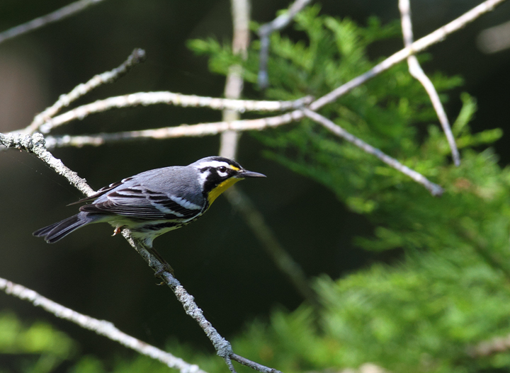 A Yellow-throated Warbler in a bald cypress swamp in Wicomico Co., Maryland (5/14/2010). Photo by Bill Hubick.